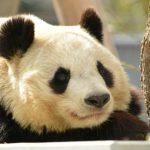 日本にいるパンダの頭数や動物園とレンタル料について